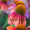 The gardens at Prescott Park, on Friday 8-9-2019, Portsmouth NH.  Matt Parker Photos