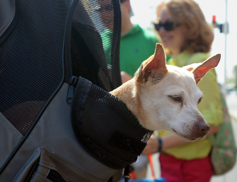 . Pookles, a 17-year-old Chihuahua, got to ride like a papoose in Karen Kingma\'s back pack for the Ambler Dog Days Parade Saturday, Aug. 9, 2014.  Montgomery Media staff photo by Bob Raines