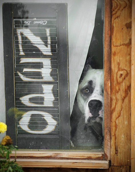 Smokey looks out one of the windows of the old Belle Mina train station Tuesday, June 21, 2011. The building is now Jared Huston's  guitar workshop. Huston said he and his son adopted Smokey when the dog showed up running wild and lost after the April 27 tornadoes.