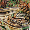 Patchnose Snakes mating