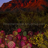 Purple Prickly Pear and the Chisos Mountains