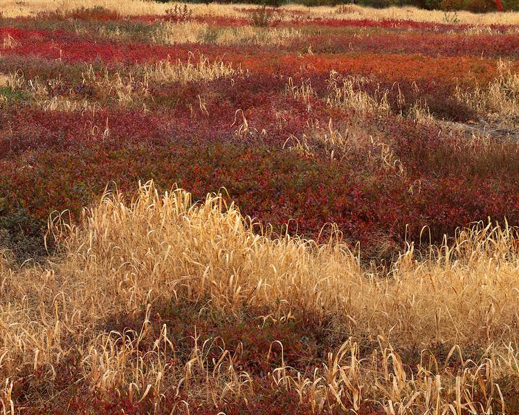Grass & Lowbush Blueberries