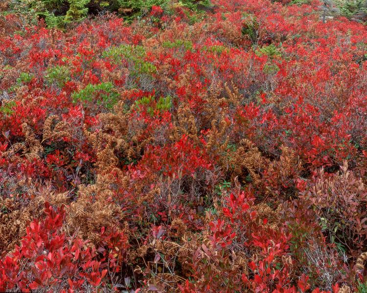 High-bush Blueberries & Ferns