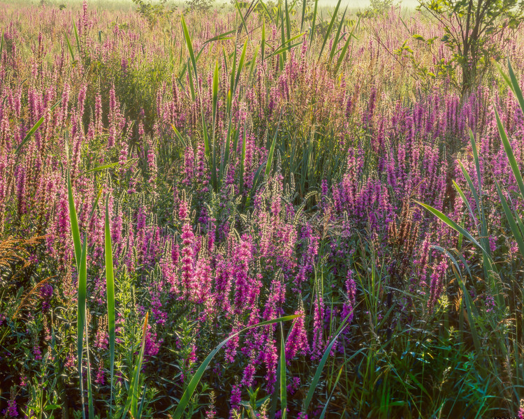 Loosestrife and Spider,