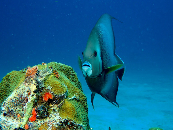 Bartoszek_Joe_GrayAngelFish