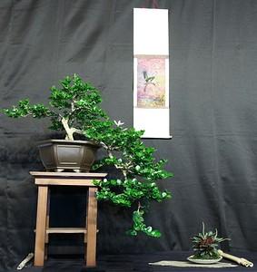 Natal Palm - Carissa Grandiflora