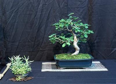 Swamp Redwood - Erythroxylum Areolatum