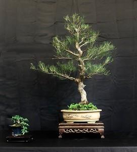 Casuarina (Australian Pine)