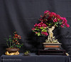 18  Bougainvillea - Quince display - Exhibit 2017