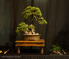 7  Juniper Procumbans Nana - Exhibit 2017