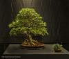 4  Ficus Salicaria - Exhibit 2017