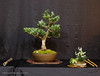 11  Dwarf Podocarpus - Exhibit 2017