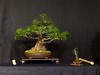 14  Ficus Salicaria - Exhibit 2017