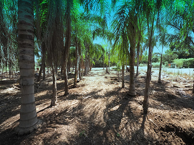 A coconut forest