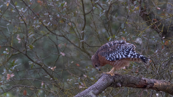 Red-shouldered Hawk (Buteo lineatus) - P2