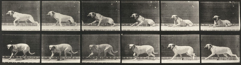 Dog Smith aroused by a torpedo (Animal Locomotion, 1887, plate 714)