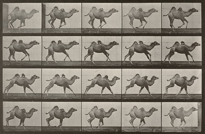 Bactrian camel galloping (Animal Locomotion, 1887, plate 740)