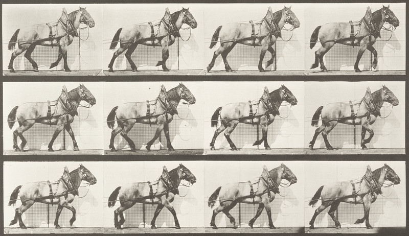 Horse Billy hauling (Animal Locomotion, 1887, plate 567)