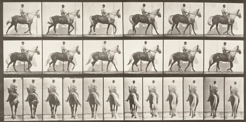 Horse Buckskin walking, lame right front foot, with rider (Animal Locomotion, 1887, plate 653)