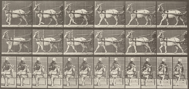 Goat walking, harnessed to a sulky with driver (Animal Locomotion, 1887, plate 677)