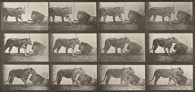 Lioness walking and lion lying down (Animal Locomotion, 1887, plate 727)