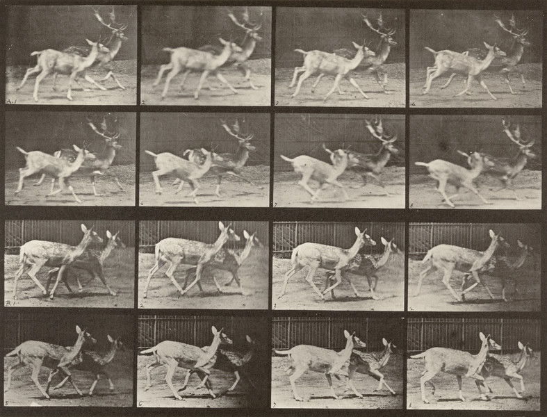 Fallow deer, buck and doe trotting (Animal Locomotion, 1887, plate 684)