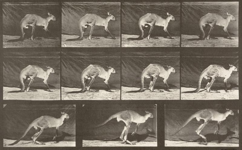 Kangaroo walking on all fours, changing to jumping (Animal Locomotion, 1887, plate 751)