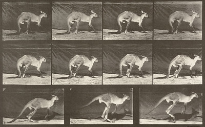Kangaroo walking on all fours, changing to jumping (Animal Locomotion, 1887, plate 751)