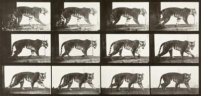 Tigress walking (Animal Locomotion, 1887, plate 729)