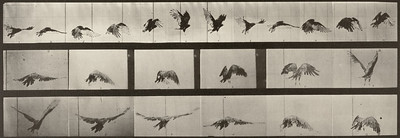 Vulture flying (Animal Locomotion, 1887, plate 768)