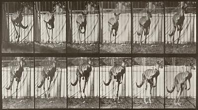 Kangaroo jumping (Animal Locomotion, 1887, plate 754)