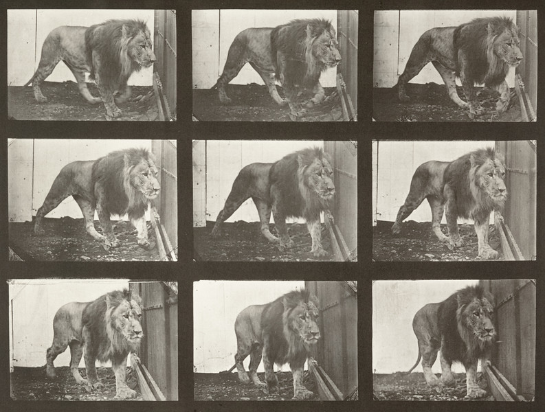 Lion walking (Animal Locomotion, 1887, plate 721)