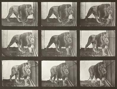 Lion walking (Animal Locomotion, 1887, plate 721)