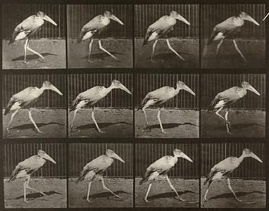 Adjutant walking (Animal Locomotion, 1887, plate 774)