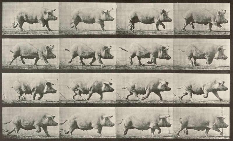 Sow trotting (Animal Locomotion, 1887, plate 675)