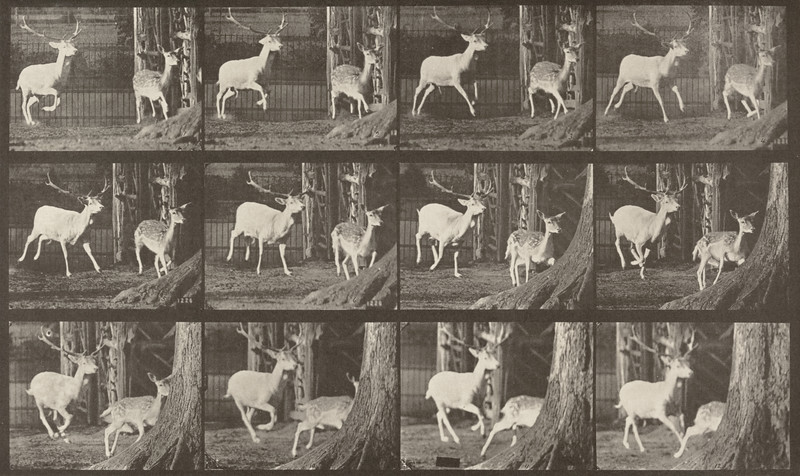 Fallow deer, buck and doe, galloping (Animal Locomotion, 1887, plate 686)