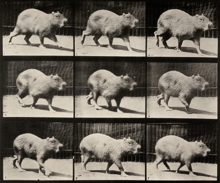 Capybara walking (Animal Locomotion, 1887, plate 746)