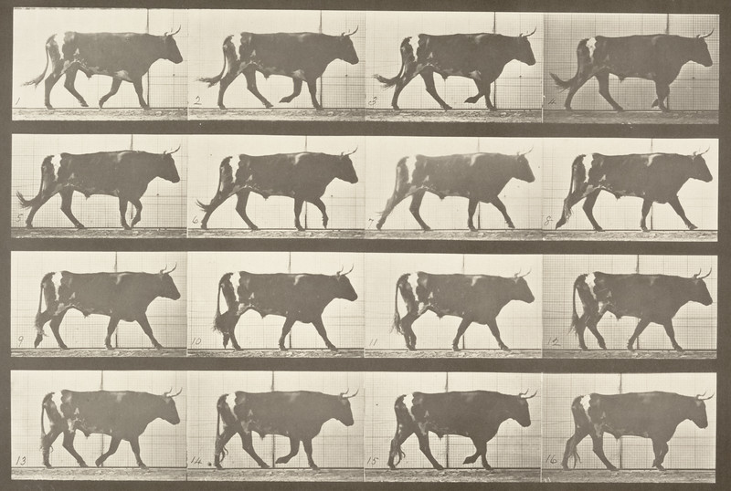 Ox walking (Animal Locomotion, 1887, plate 669)