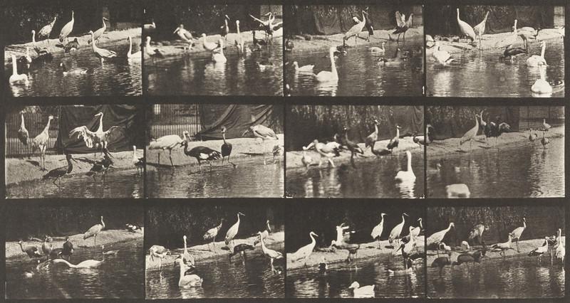 Storks, swans, etc. (Animal Locomotion, 1887, plate 779)