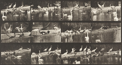 Storks, swans, etc. (Animal Locomotion, 1887, plate 779)