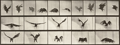 American eagle flying (Animal Locomotion, 1887, plate 769)