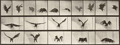 American eagle flying (Animal Locomotion, 1887, plate 769)