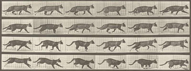 Cat trotting and galloping (Animal Locomotion, 1887, plate 718)