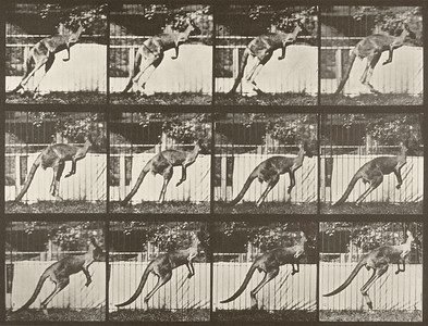 Kangaroo jumping (Animal Locomotion, 1887, plate 753)