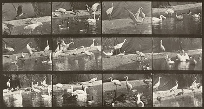 Storks, swans, etc. (Animal Locomotion, 1887, plate 780)