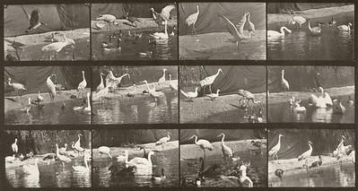 Storks, swans, etc. (Animal Locomotion, 1887, plate 780)