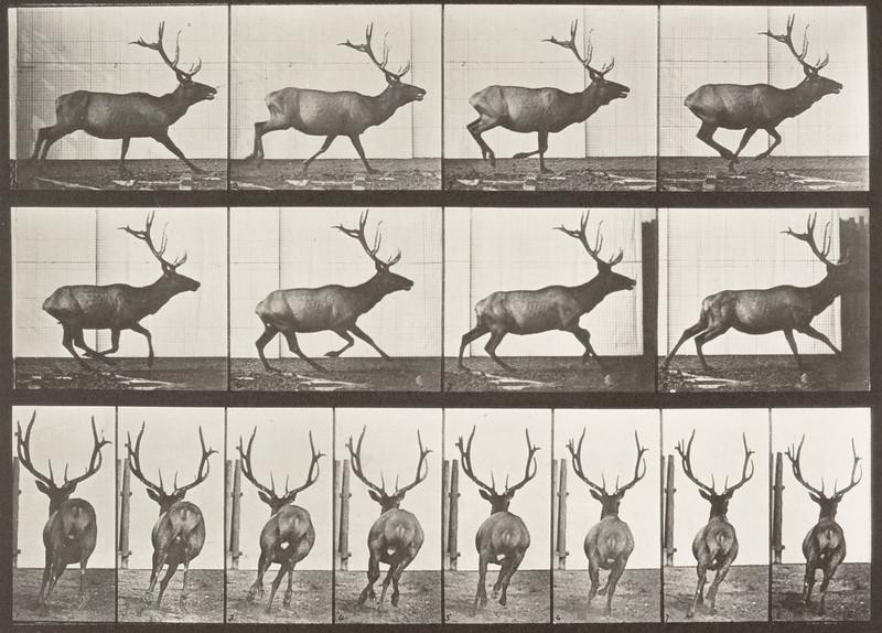 Elk galloping (Animal Locomotion, 1887, plate 695)