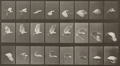 Cockatoo flying (Animal Locomotion, 1887, plate 758)