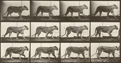 Lioness walking (Animal Locomotion, 1887, plate 728)