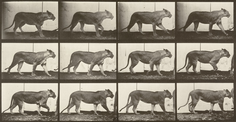 Lioness walking (Animal Locomotion, 1887, plate 728)